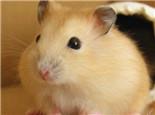 布丁仓鼠的喂食要求