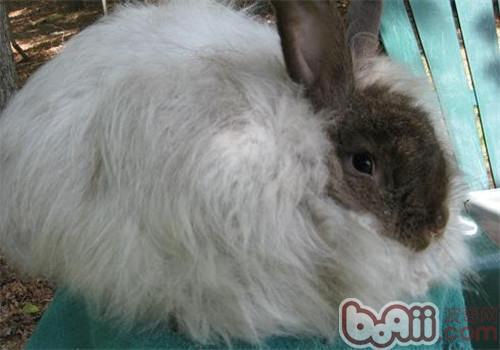安哥拉兔的饲养及毛发的养护