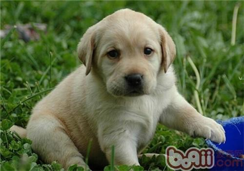 拉布拉多猎犬高清图片