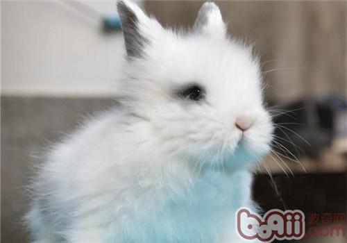 狮子兔的饲养方法及养护要点