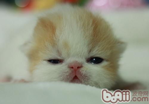异国短毛猫(加菲猫)养护知识