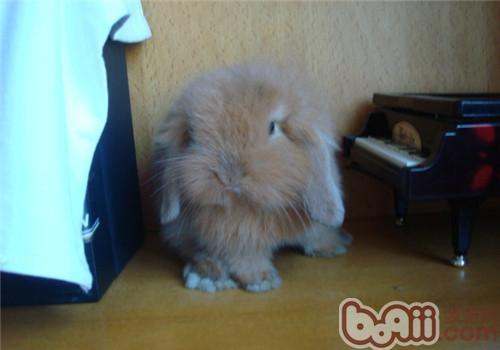 垂耳兔的饲养环境布置