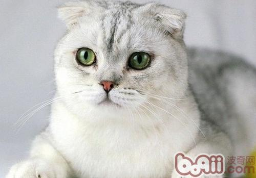 苏格兰折耳猫形态特征