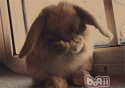 垂耳兔的品种简介