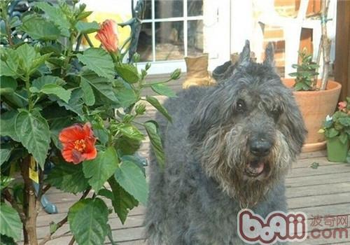 法兰德斯畜牧犬的养护知识