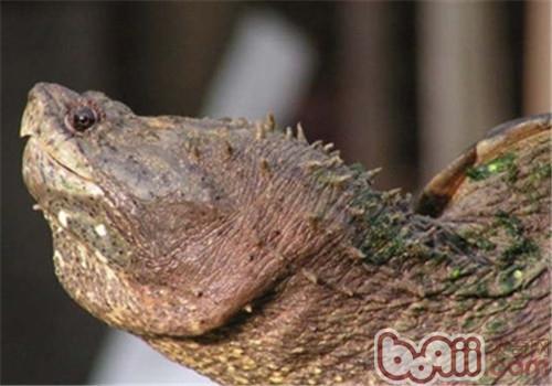 佛州拟鳄龟的养护要点及选购
