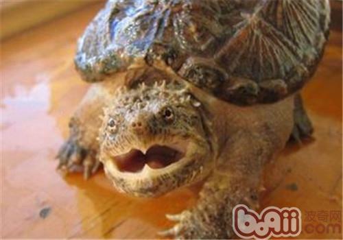 佛州拟鳄龟的品种简介