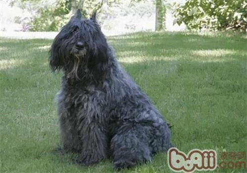 法兰德斯畜牧犬的性格特点