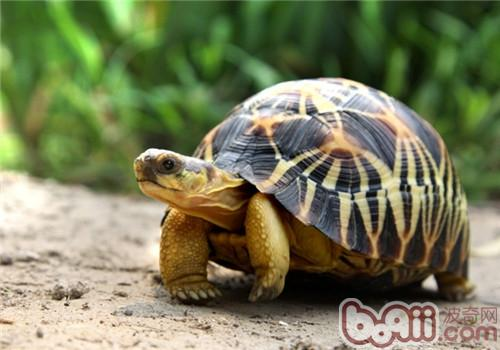 辐射陆龟的食物选择
