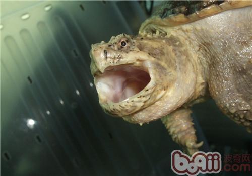 佛州拟鳄龟的外貌特征