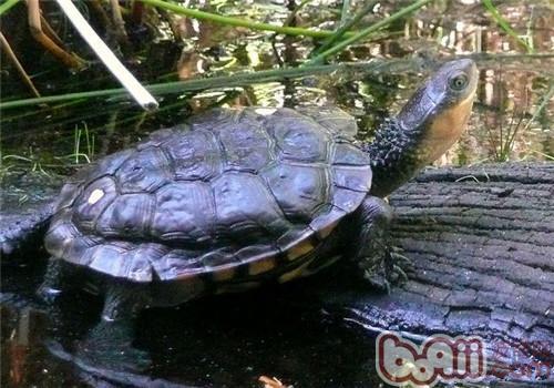 澳洲短颈龟的养护方法