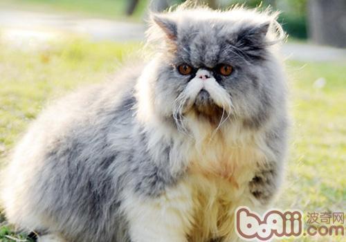 波斯猫的喂食要求有哪些