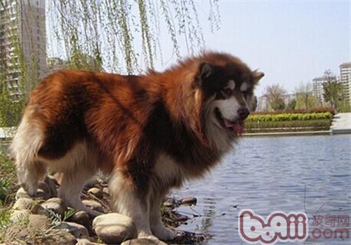 阿拉斯加雪橇犬的形态特征