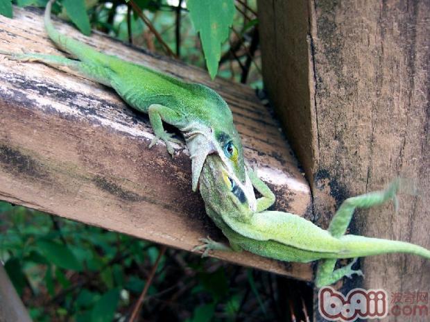 安乐蜥的食物要求介绍