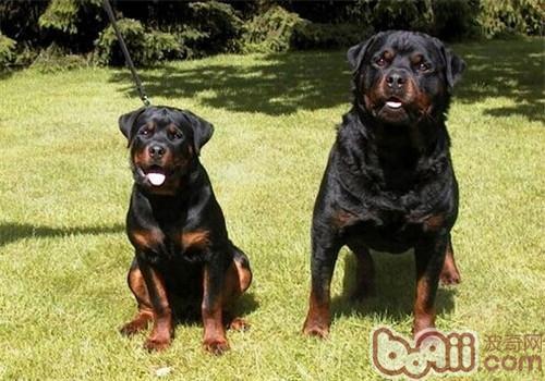 罗威纳犬的养护知识