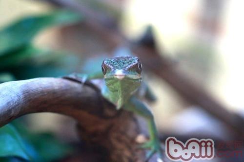 安乐蜥的品种介绍