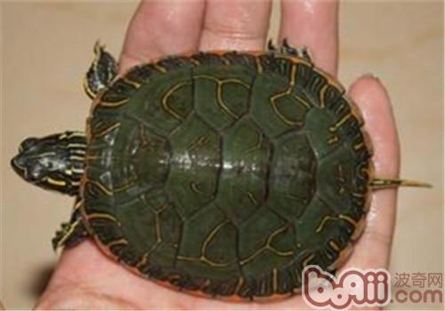 阿拉巴马红肚龟吃什么?
