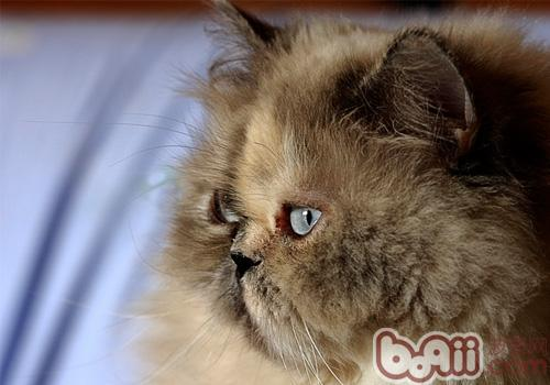 波斯貓的幾個養護要點
