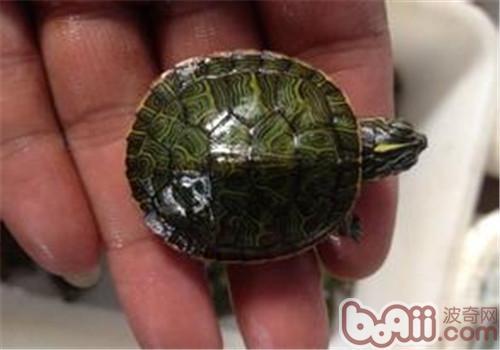 阿拉巴马红肚龟品种简介