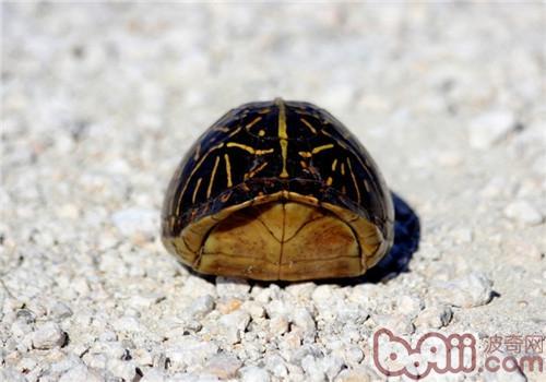 佛罗里达箱龟的养护方法