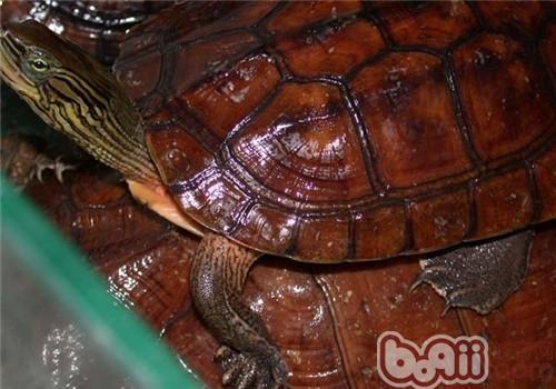 菲氏花龟的品种简介