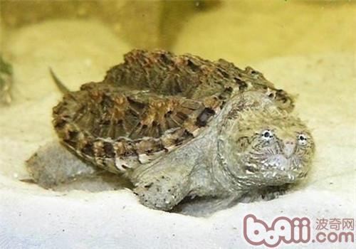 佛州拟鳄龟的环境设置