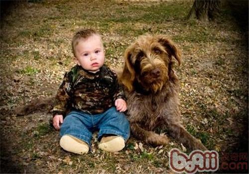 刚毛指示格里芬犬的养护知识