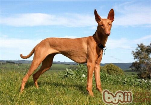 法老王猎犬的形态特征