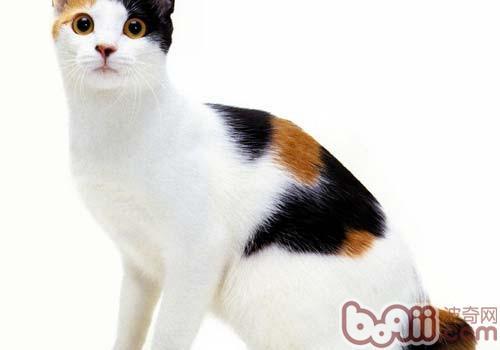 日本短尾猫的性格特点