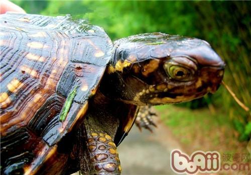 佛罗里达箱龟的品种简介
