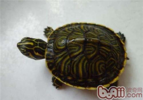 佛州甜甜圈龟吃什么好?