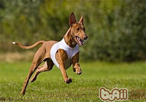 法老王猎犬的品种简介