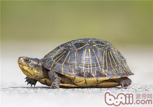佛罗里达箱龟的外貌特征