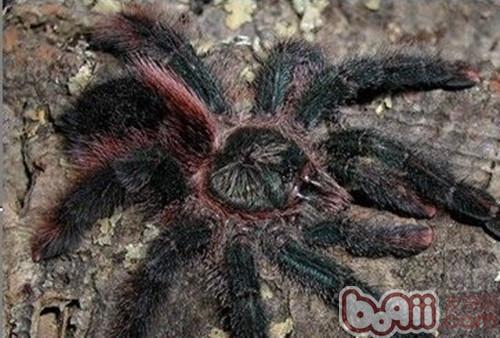 巴西粉红趾的饲养环境要求