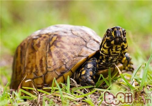 佛罗里达箱龟的环境要求