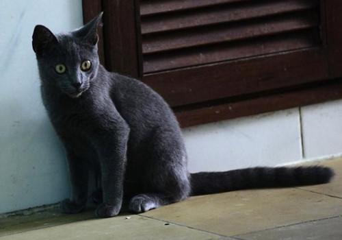 内华达猫的养护知识