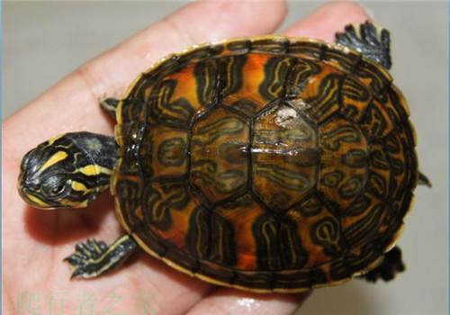 紅肚龜的圖片搜尋結果