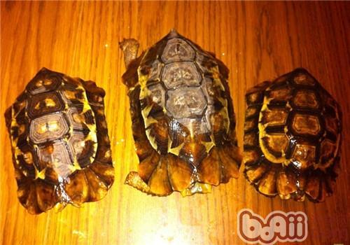 非洲折背陆龟的形态特征