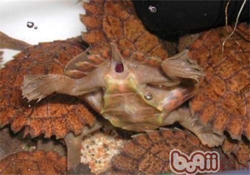费兹洛河龟的食物选择
