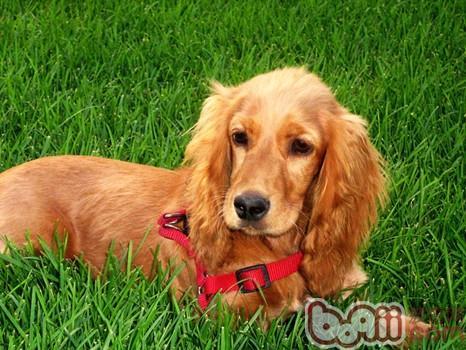 英国可卡犬的品种简介