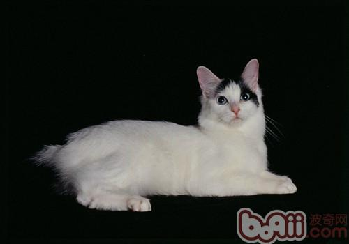 日本短尾猫的品种介绍