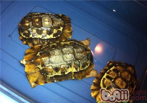 非洲折背陆龟的生活环境介绍
