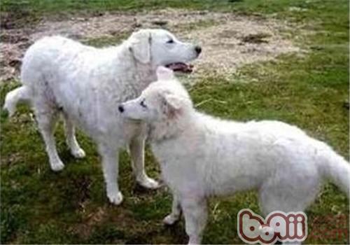 哥威斯犬的性格特點