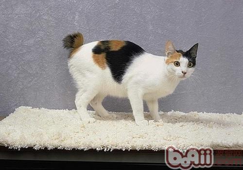日本短尾猫的喂食要求