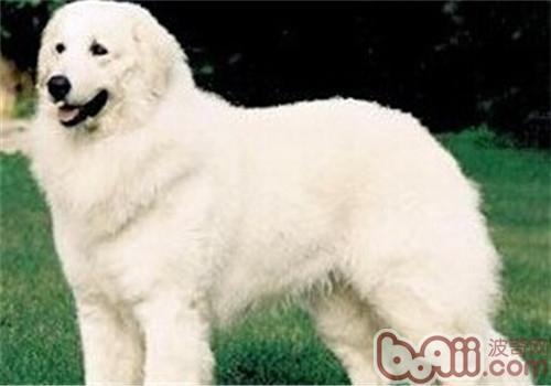 哥威斯犬的養護知識