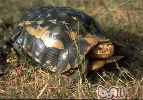 非洲折背陆龟的食物选择