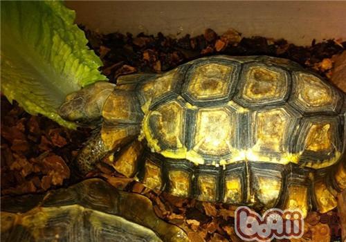 非洲折背陆龟的养护知识