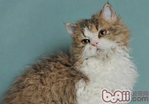 塞尔凯克卷毛猫的形态特征