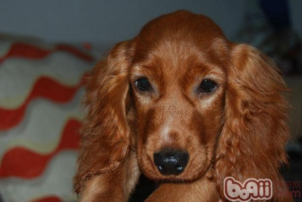英国可卡犬养护知识