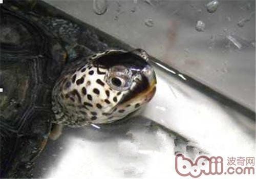 佛罗里达东部钻纹龟的养护要点